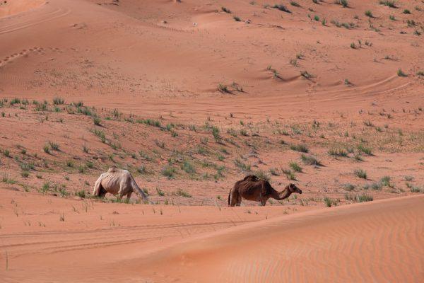 Chameau dans le désert à Dubaï